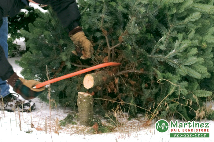Can You Cut Down Your Own Christmas Tree?